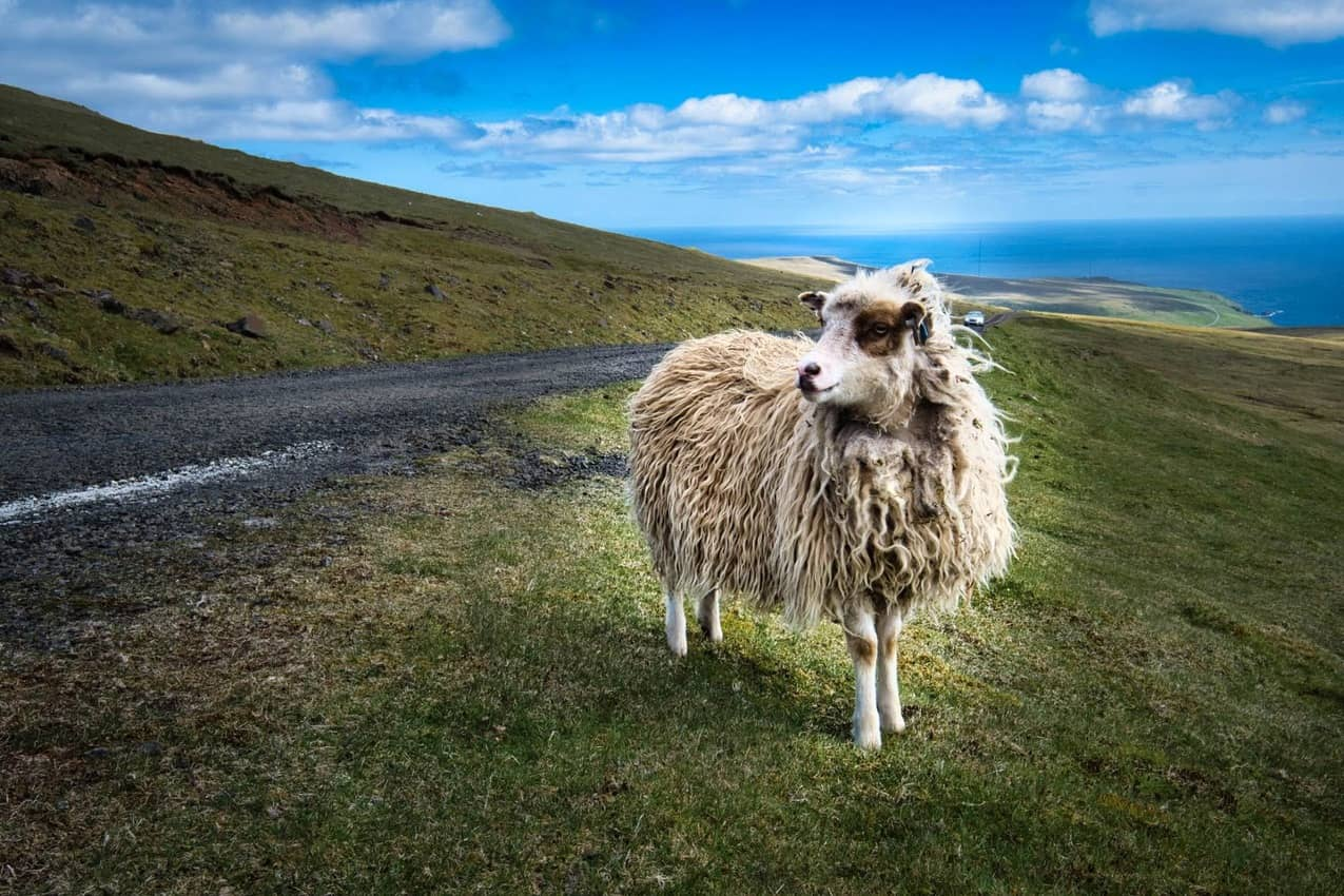 There are lots of hardy sheep in the Faroes.