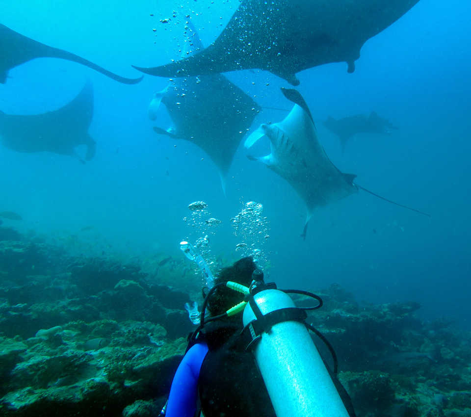 Diver observing manta rays