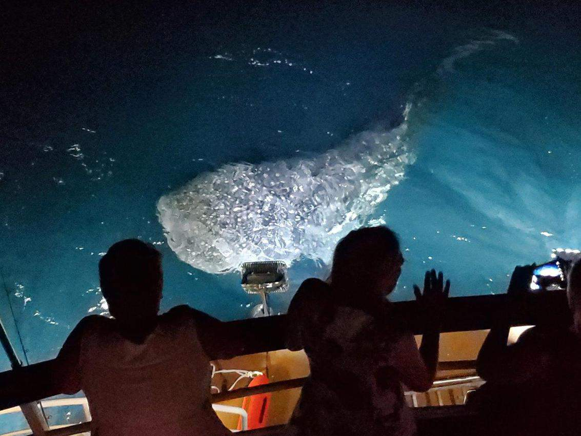 A giant whale shark feeds off the stern of the ship in the Maldives.