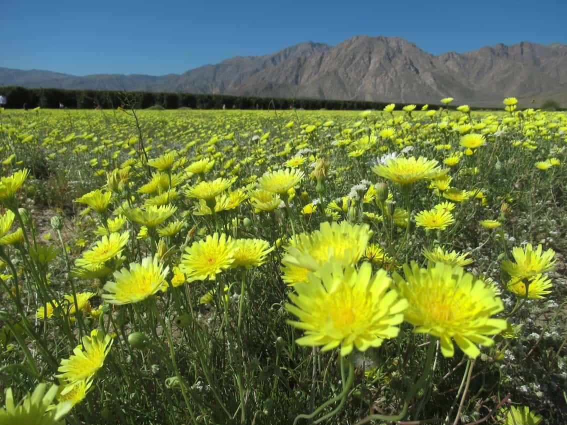 Flower bloom in Borrego Springs