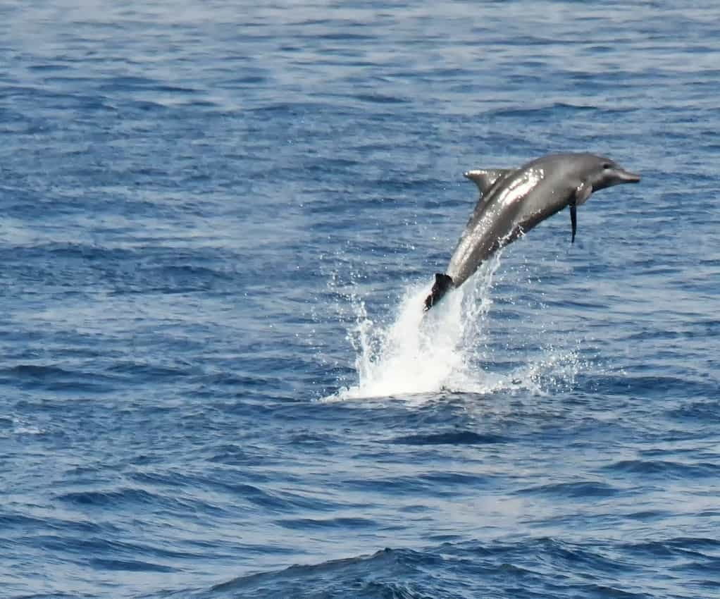 Dolphins were spotted often jumping around the ship.