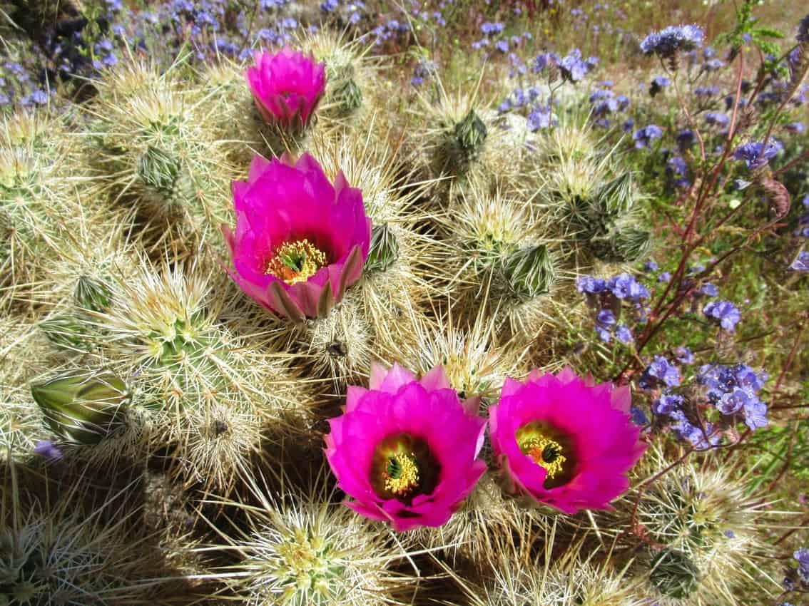 Cactus bloom on Villager Peak in Anza Borrego.