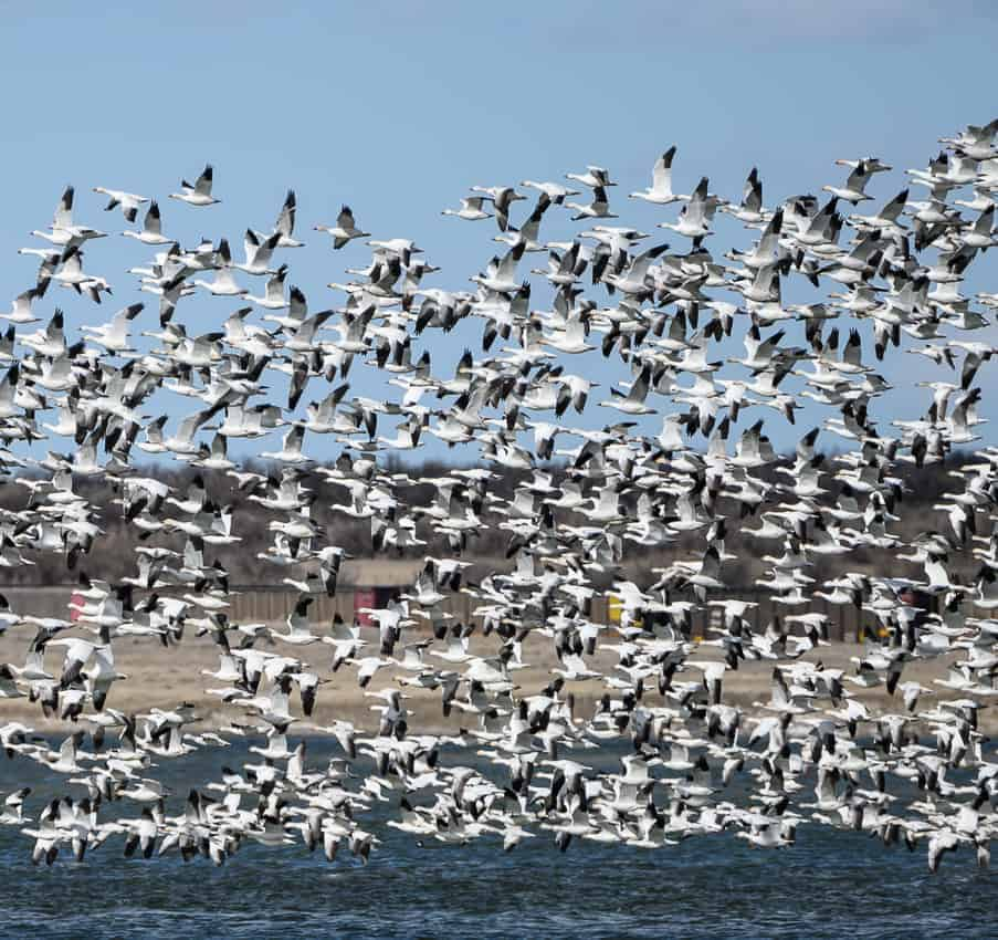 Snow geese in Montana.