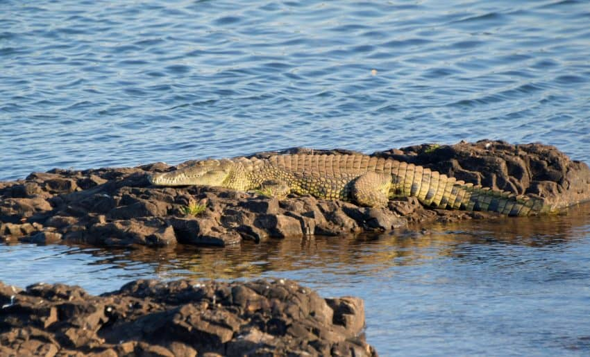 A Nile crocodile up river from the falls