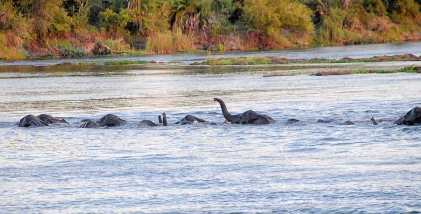 Elephants crossing Zambezi River at sunset