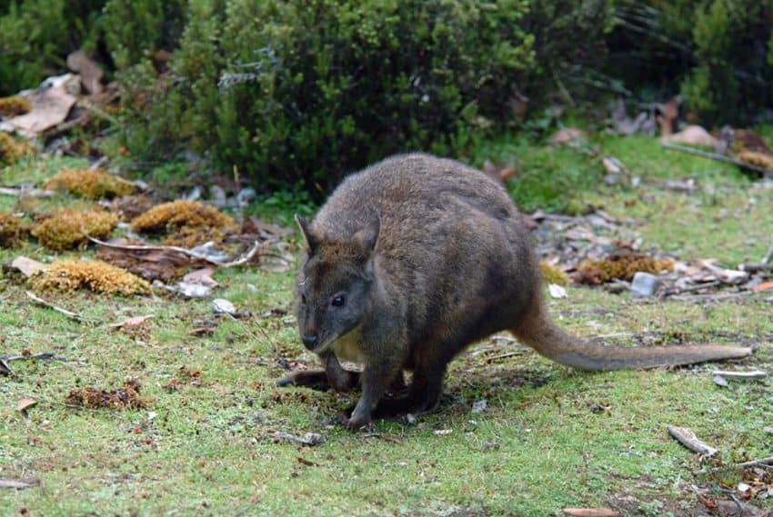 Potoroos, a member of the kangaroo family, are common in Tasmania.
