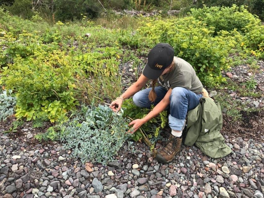 Lori cutting a Bladderwrack, an edible seaweed.
