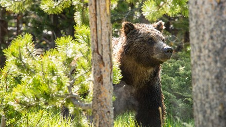 A grizzly bear in Yellowstone