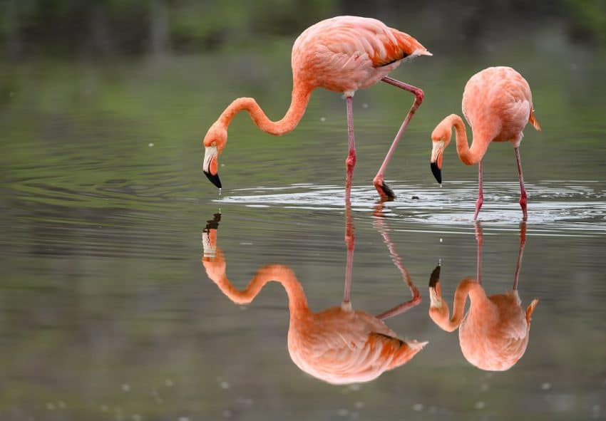It's common to find flamingos in the lagoons on Floreana Island, Galapagos.