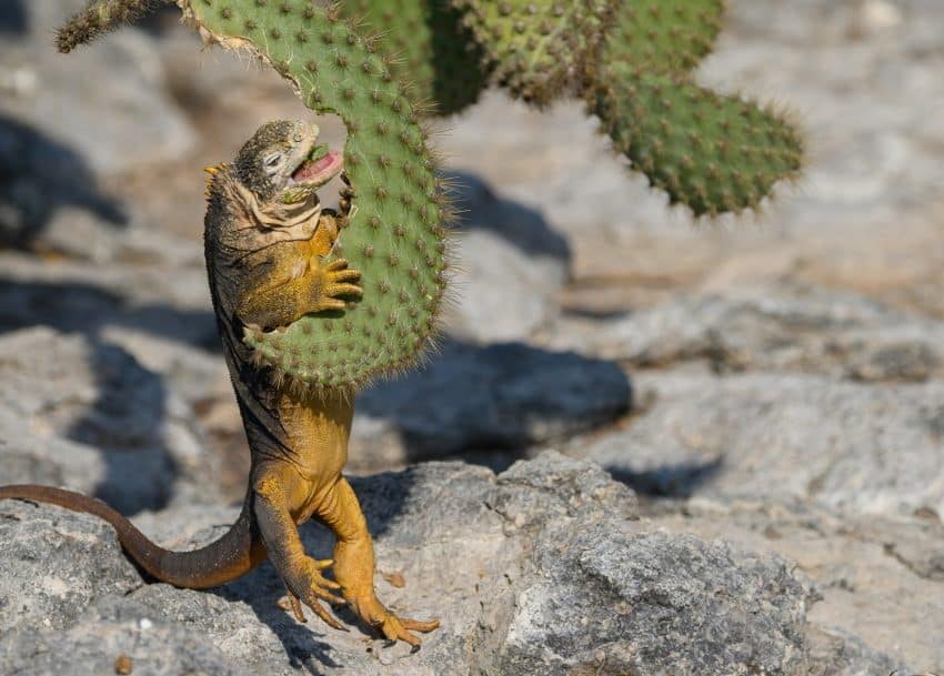 The land iguana, seen on North Seymour Island, is fond of prickly pear cactus.