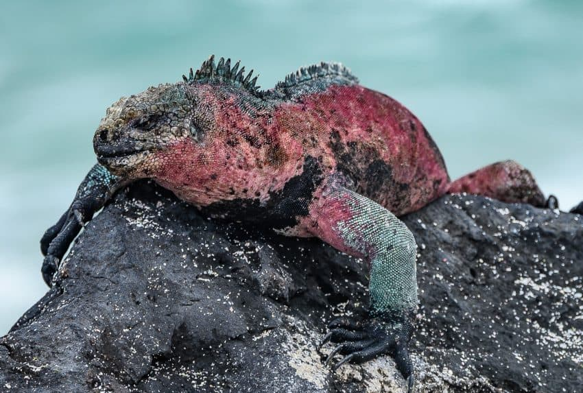 The marine iguana in the Galapagos is typically shades of black, except during mating season when their coloration turns to red and green.