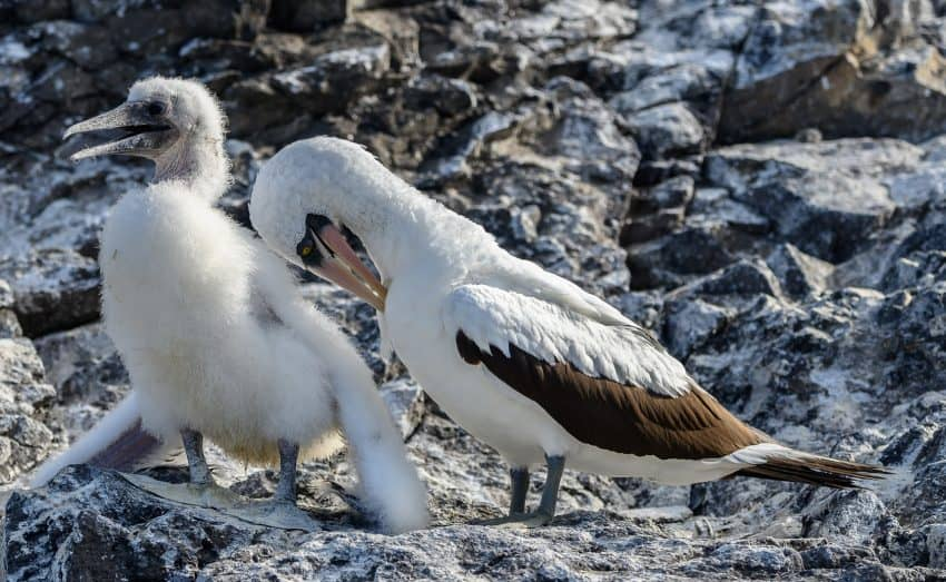 San Cristobal Island is a favorite hangout of Nazca boobies, who keep a close watch on their chicks.