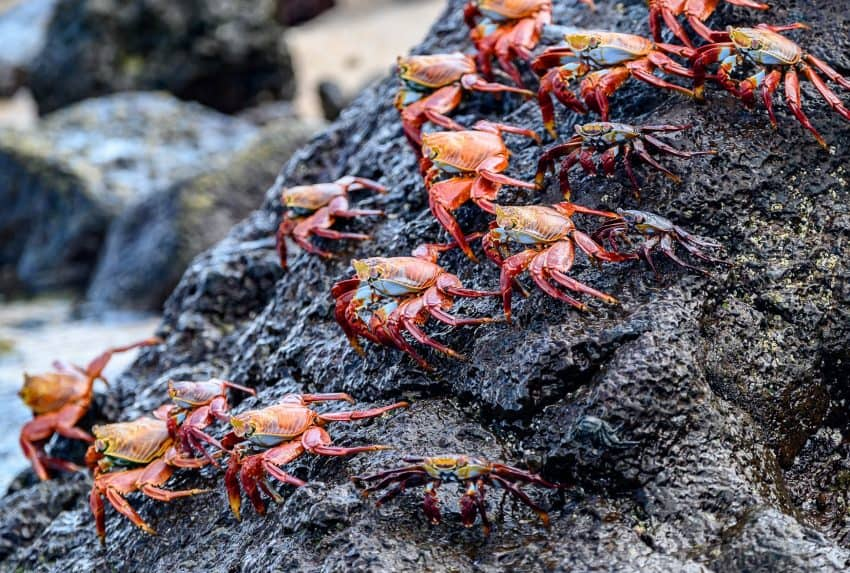 Sally Lightfoot crabs can be seen on many islands in the Galapagos darting in and out of the rocky shorelines.