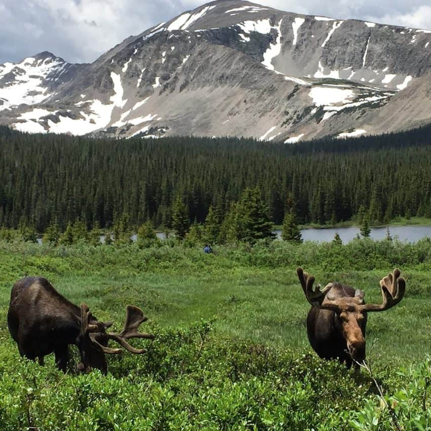 Moose literally a few hundred yards from the parking lot at Brainard Lake, Colorado. photos from parking lots