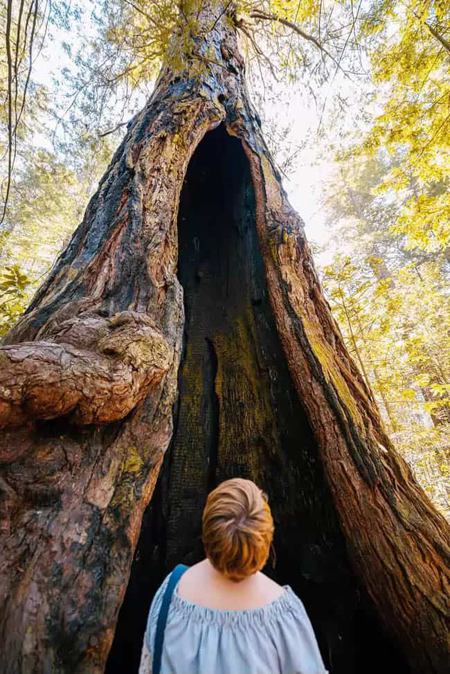 Grove of the old trees, Sonoma, California.