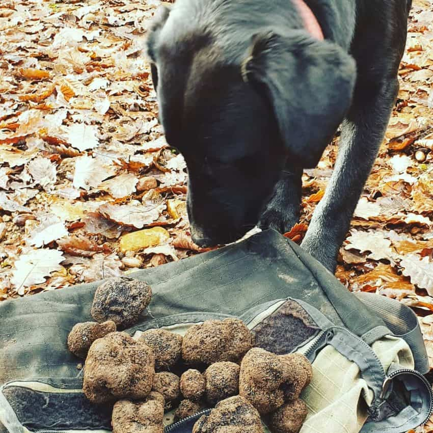 A dog observing their fresh truffle finds