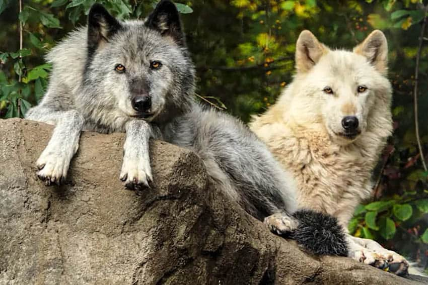 Stewards of the Wolf in South Salem, NY