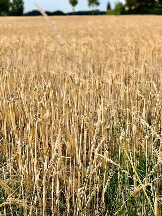 Fields at Kranenburg were just turning golden with the ripe harvest