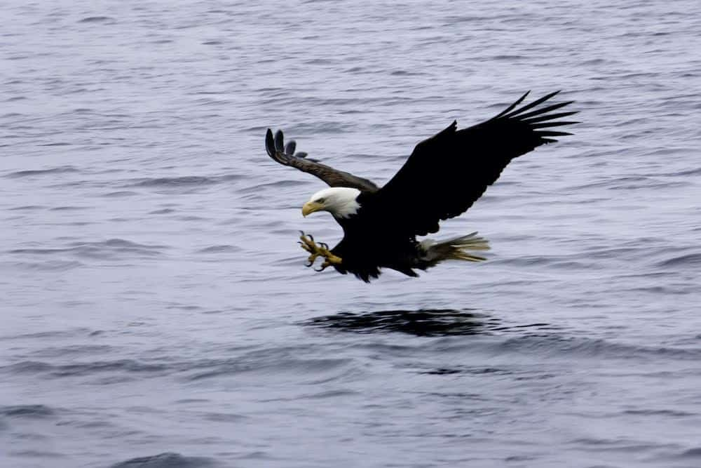 bald eagle fishing Ben Adams Widlife visitsitka