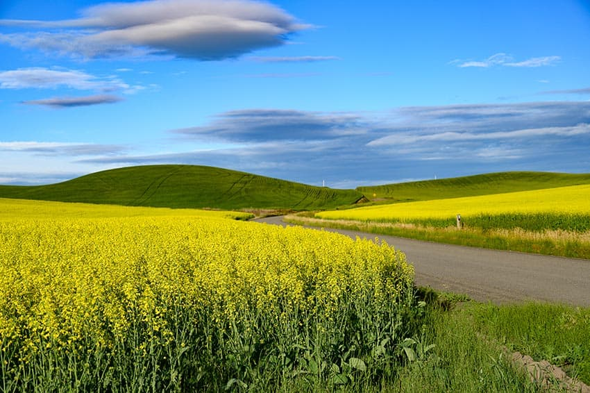Much of what is grown in the agricultural region of Palouse is wheat and canola.