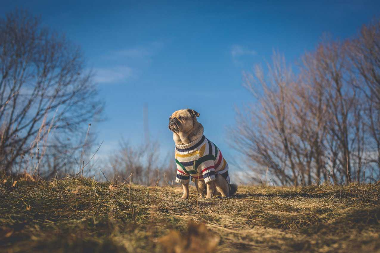 pug dog looks at sun and future