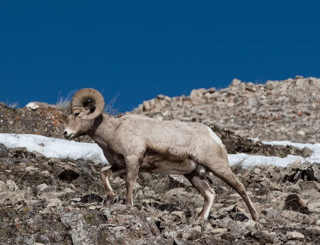 Look for bighorn sheep in the rocky hillsides when exploring Yellowstone.