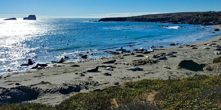 Piedras Blancas Elephant Seal Rookery in Cambria California.
