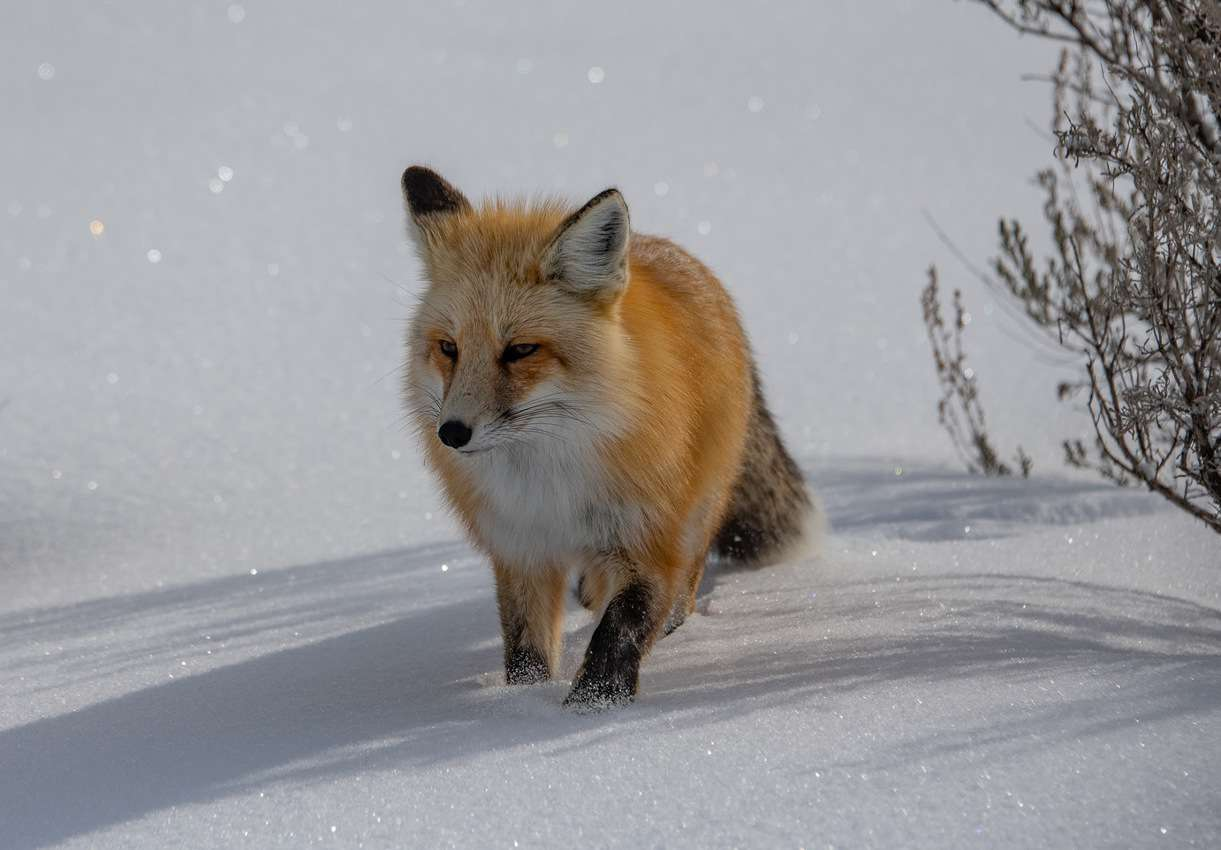 This red fox beauty stood still for several minutes, patiently waiting for me to get some shots. I thanked her!