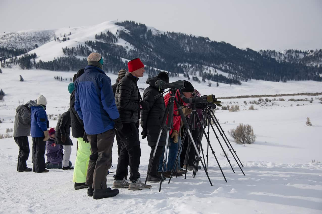 Dedicated wolf watchers come equipped with spotting scopes and are very good about letting others who stop by take a peek.