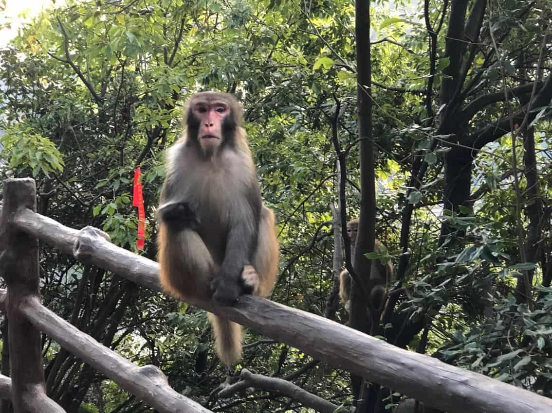 monkey on the mountain 1