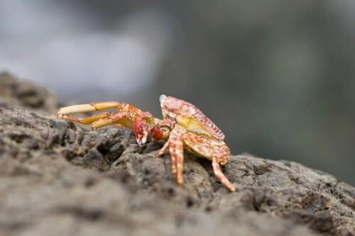 Hermit Crab on Limestone Beach