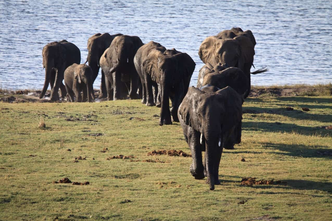 A herd of elephants emerges from the water in Zimbabwe.