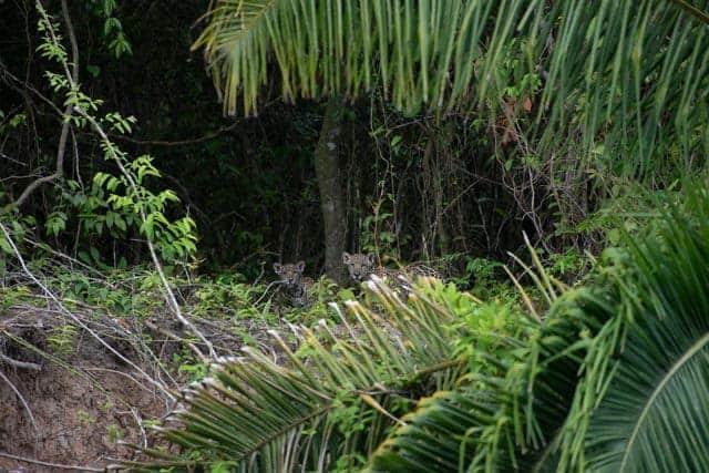two baby jaguars in the Pantanal.