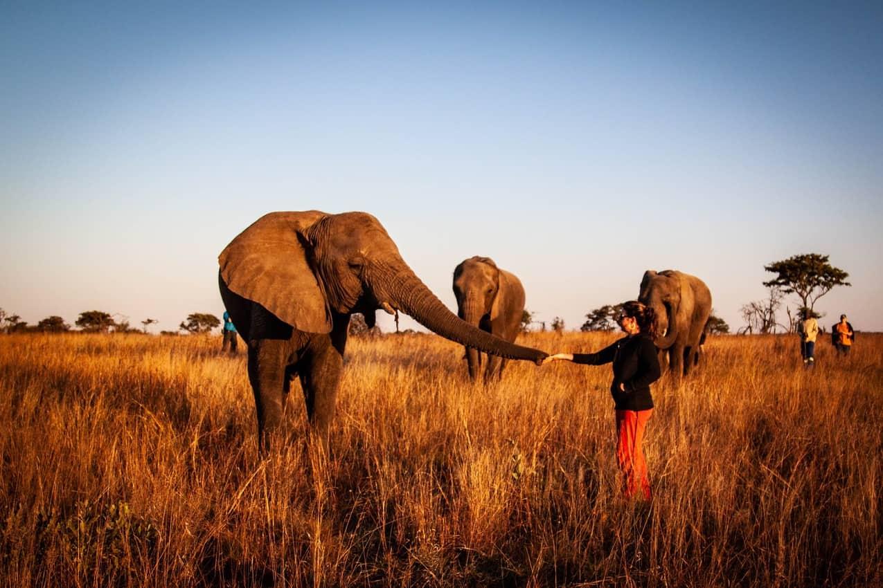 feeding elephant in the wild 1