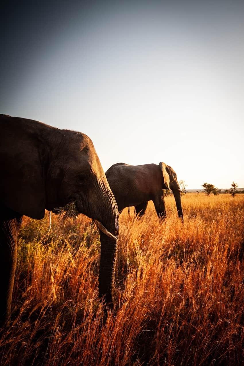 shadow elephant