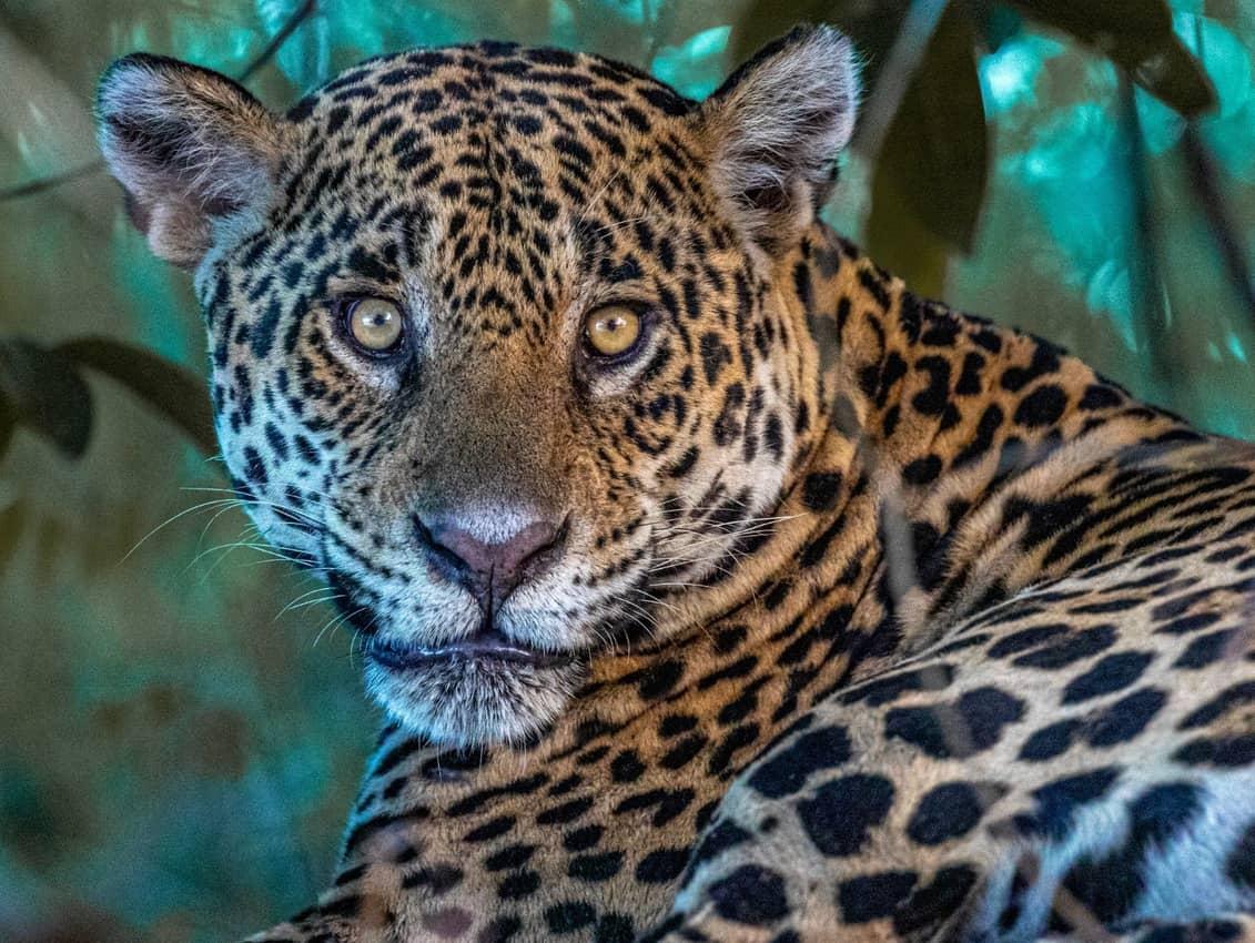 tina the jaguar, Gail Clifford photo