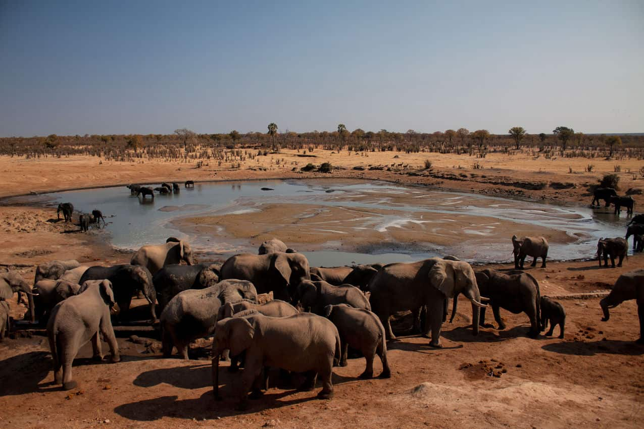 African Elephants gather at a watering hole in Zimbabwe. Rene Bauer photos.