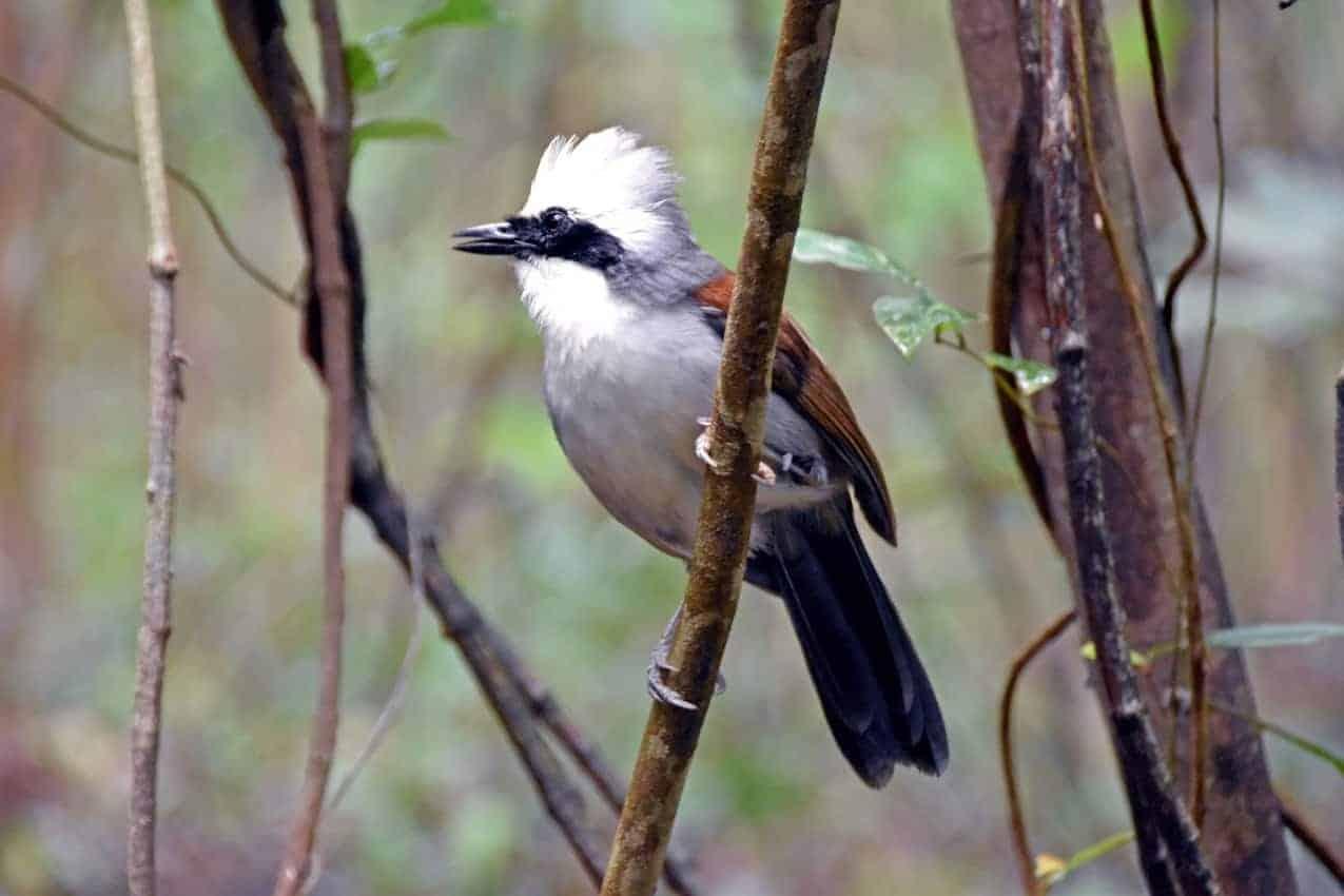 A whistling thrush at the Bukit Batok Nature Park, Singapore.