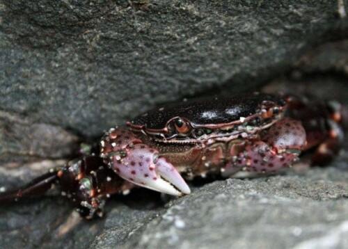 Black Crab at Shipwreck Beach, Lanai