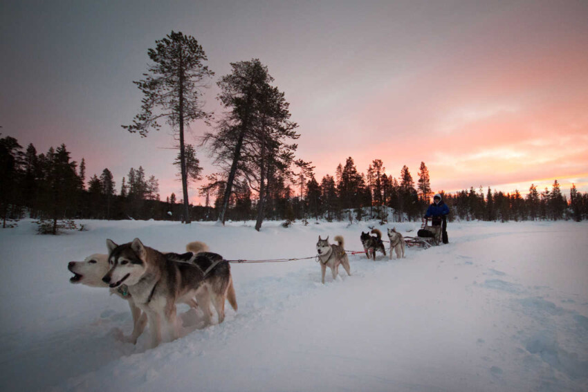 mushing dogs in Northern Norway.