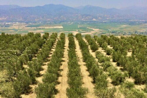 olive groves turkey