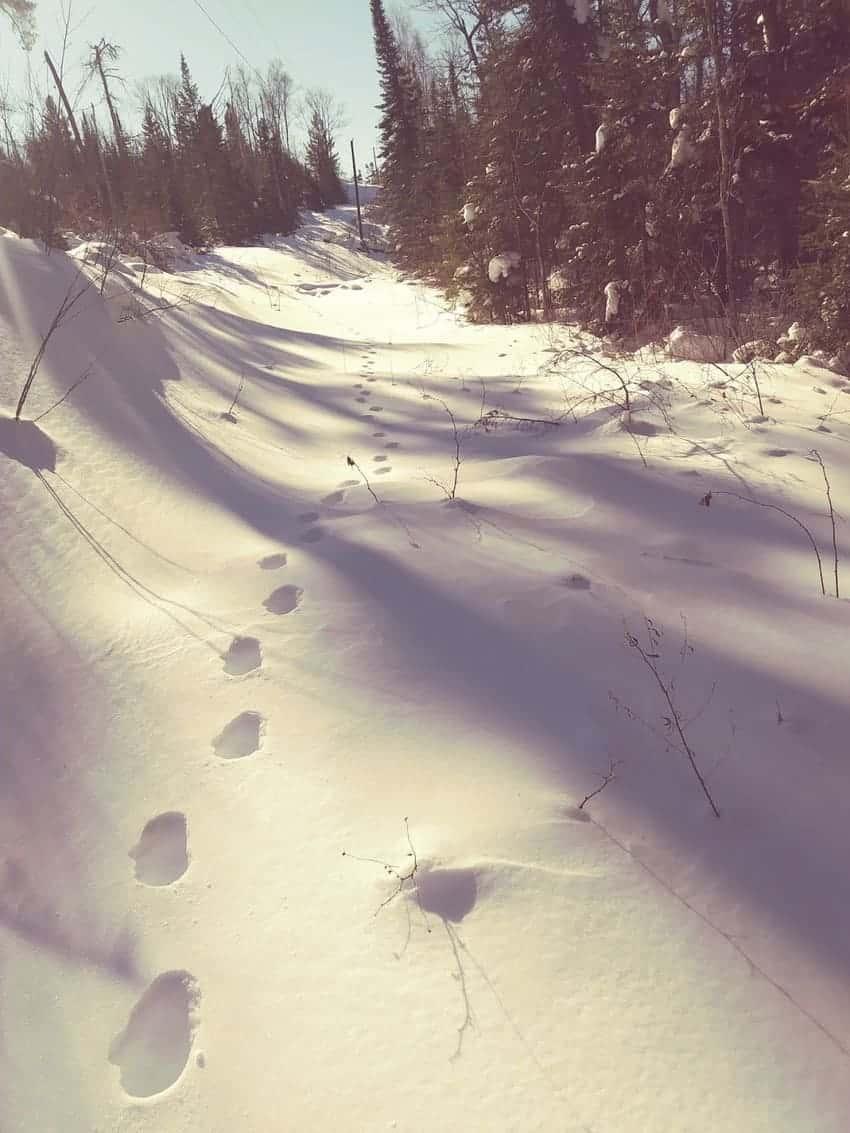 Canada lynx tracks follow the forest edge.