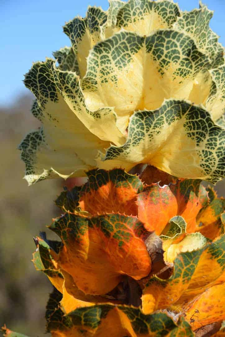 Wildflower in Ravensthorpe, Western Australia