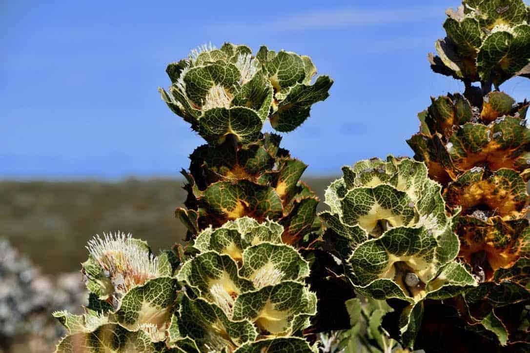 Royal Hakea in Ravensthorpe, Western Australia