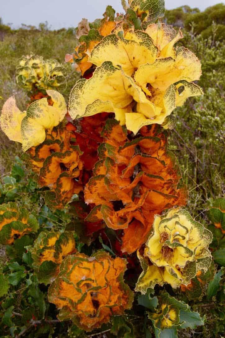 Royal Hakea wildflower in Ravensthorpe, Western Australia