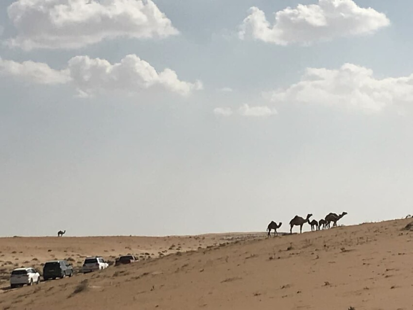 desert with camels and cars