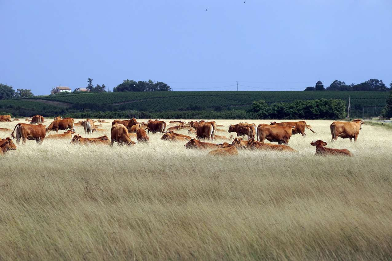 Loudenne cows in Medoc