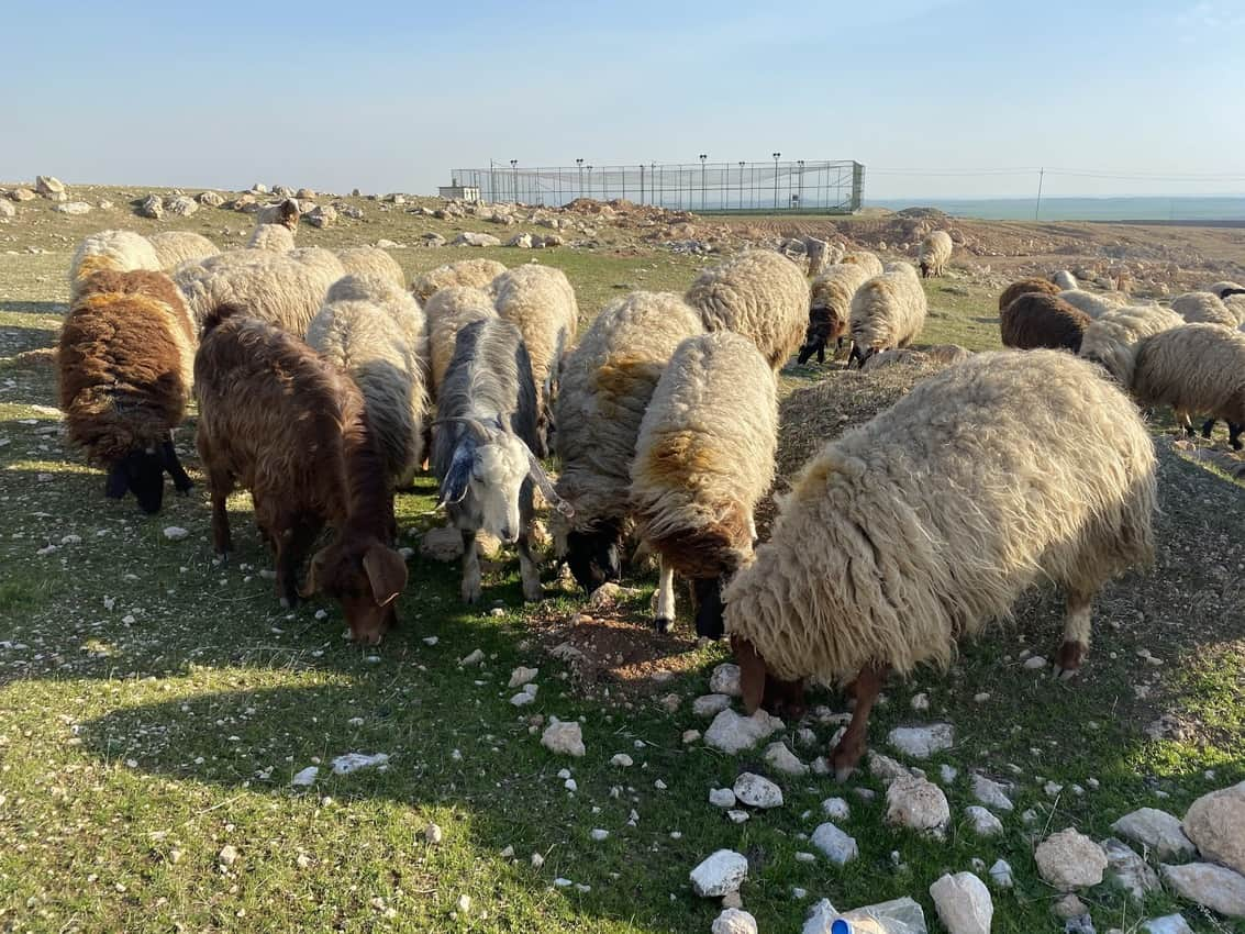 Near the entrance to the monastery, local shepherds tend to their flock.