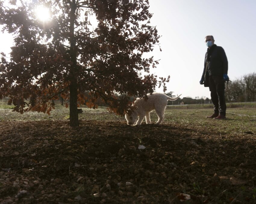 dog sniffing for truffles in Beziers