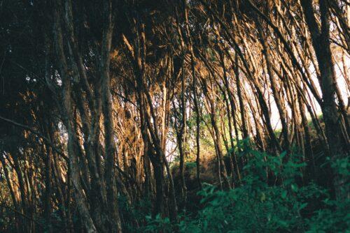 Kanuka forest - Ecology Trail